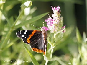 Photo: Red admiral (Aglais milberti) butterfly, 7.10.10