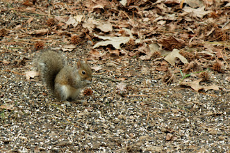 Photo: Day 7-Backyard Squirrel