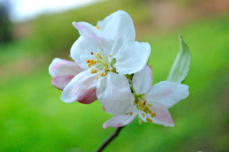 Photo: An apple blossom on a tree in my horse pasture