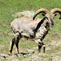 Greater Blue Sheep - Local name-Bharal