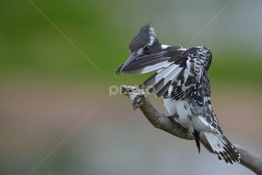 Cleaning up by Neal Cooper - Animals Birds ( pied kingfisher )