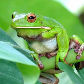 Green Tree Frog by Kinga Urban - Animals Amphibians ( sitting, frog, tree frog, amphibian, animal,  )