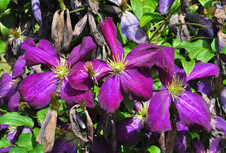 Photo: Clematis jackmanii purpurea -Patens group