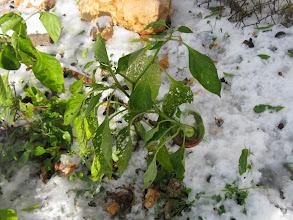 Photo: פלפלים בשלג