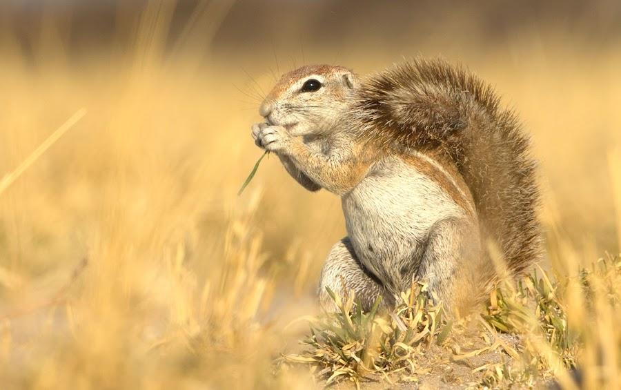 Desert Squirrel  by Anne Young - Animals Other Mammals