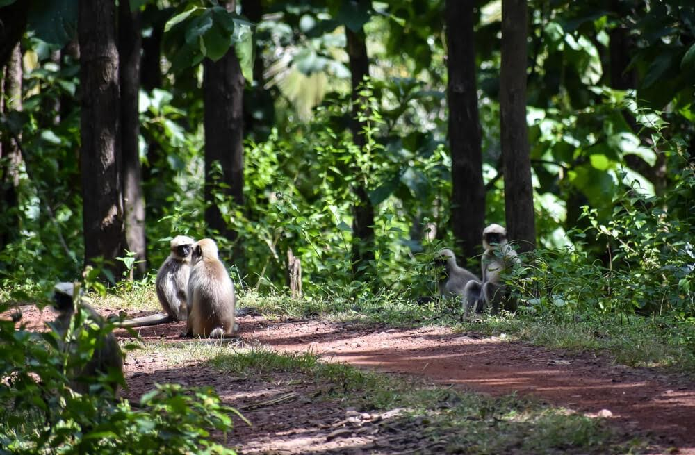 langurs in the dandeli jungle camp