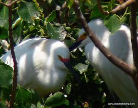 Photo: Mated Snowy Egrets at High Island, Texas