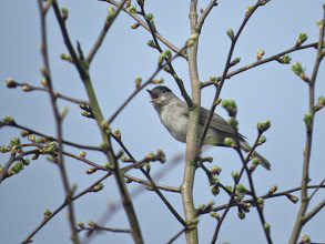 Photo: Priorslee Lake One of my friends reckons you can only count seeing a bird if you know the colour of eye and the gape. So we can all tick Blackcap as this male shouts its song. (Ed Wilson)