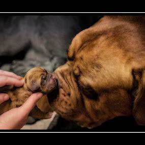 Maggies first Puppy by Peter Wyatt - Animals - Dogs Puppies ( animals, puppies, bordoux, puppyportrait, dog, portrait, baby, young, animal,  )