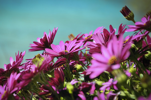 Pink Flowers di #giannigalliphoto