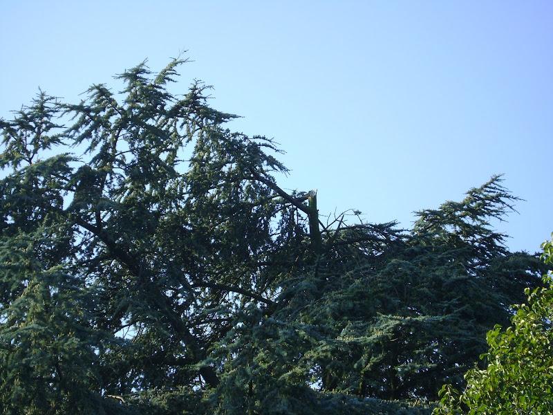 Photo: Tijdens een zomerstorm is deze Cedrus libani Glauca ( blauweceder) beschadigd geraakt, de top van de boom was uitgebroken en in de val van de top heeft deze nog twee gestelarmen afgebroken, er is geen schade uit dit voorval gekomen, snijderboomverzorging heeft de schade opgeruimd ook is er een raportage voor de opdrachtgever gemaakt over de veiligheid / conditie van deze boom