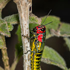 Red-headed Grasshopper