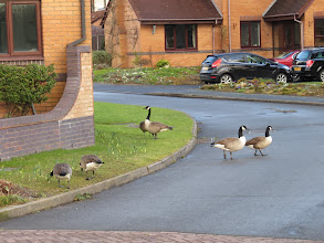 Photo: Priorslee Flash The Canada Geese make lawn-mowers unnecessary in Derwent Drive – and seem to leave the Daffodils alone. (Ed Wilson)