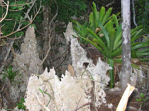 Photo: Old George – Hohenbergia caymanensis, BROMELIACEAE, a Critically Endangered Grand Cayman endemic giant bromeliad, growing on pinnacle Dolostone limestone.  Ann Stafford Sept. 11, 2005. It grows on rocks and also on tree trunks and is found in abundance in the Ironwood Forest, behind the University College of the Cayman Islands. http://www.doe.ky/nbap/?page_id=371