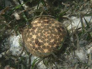 Photo: Culcita novaeguineae (Pincushion Star), Chindonan Island, Palawan. Philippines.