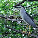 Heron - Black-crowned Night Heron