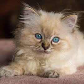 Cirre1 by Christian Wilen - Animals - Cats Kittens ( cirre1,  )