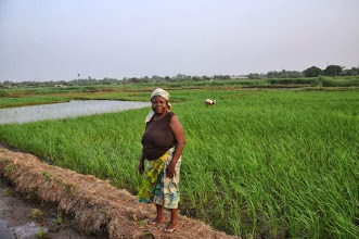 Photo: Elizabeth Bimba working in the SRI field of CHAP (Community of Hope Agriculture Project) in Paynesville, Monrovia, Liberia. (Photo by Erika Styger, Feb 2014)