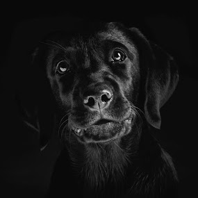 by Arun Acharya - Animals - Dogs Portraits ( black and white, animalia, clean background, black and white collection, adult, cute, portrait, canine, sit, vertebra, resting, adorable dogs, sitting, animal kingdom, pet, mamal, zoology, rest, dog, companion dog, animal, artificial light )