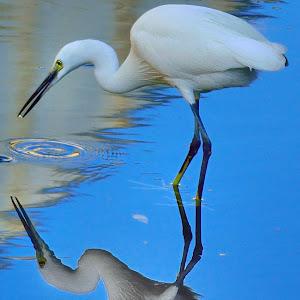 Little egret reflection in Yuen Long.jpg