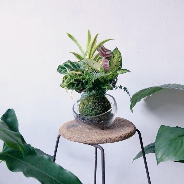 適合辦公室的苔球植物