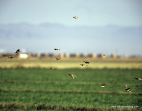 Photo: Swarming American Pipits in the Imperial Valley