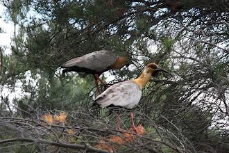 Photo: Black-faced ibises