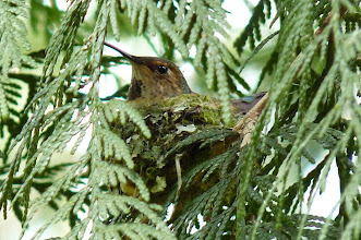 Photo: One of two nests found in April, 2013