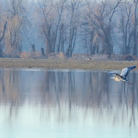 Heron in Flight by Sidney Vowell - Novices Only Wildlife