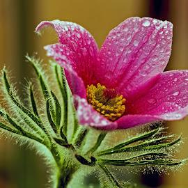 Pulsatila. by Thomas Thain - Flowers Single Flower