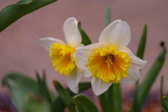 Нарциссы в саду
