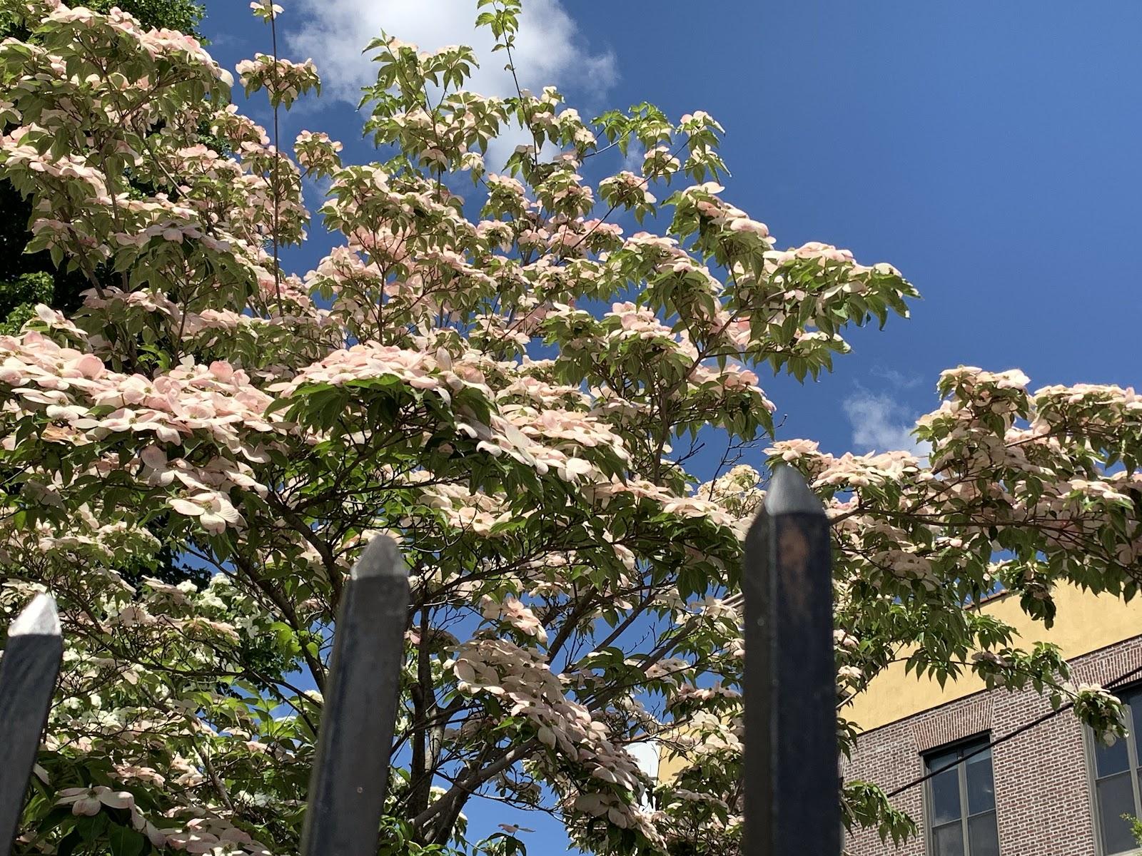 Flowering Dogwood: Myths and Medicine - Go Green Brooklyn