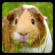 Guinea Pig Live Wallpaper
