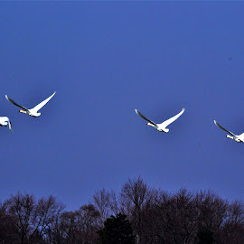 by Michael Collier - Animals Birds (  )