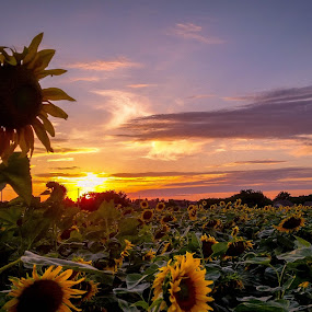 The greatest by Antonio Knezevic - Landscapes Prairies, Meadows & Fields ( sky, orange, field, nature, sun, sunflower )