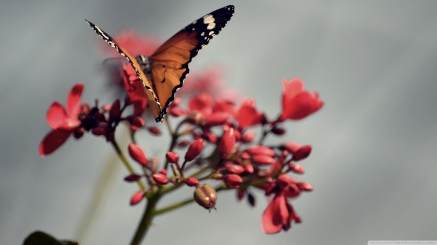 android Best Butterfly Wallpapers Screenshot 0