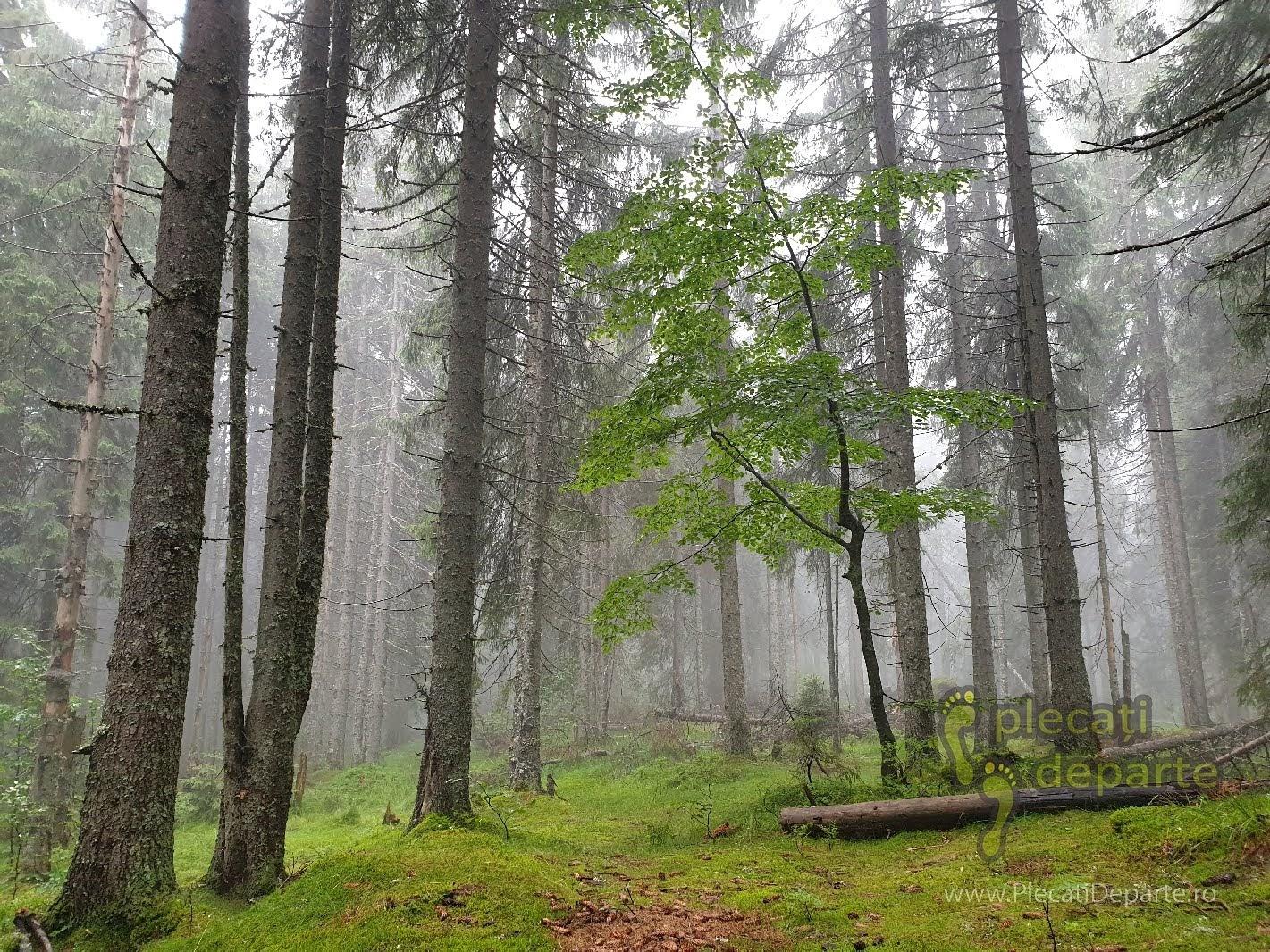Padure seculara de brad in Parcul Natural Apuseni, trasee padis apuseni, parcul natural apuseni obiective turitice, zona protejata