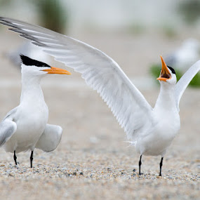 Royal Tern by Wil Domke - Animals Birds ( bird, tern, florida, royal tern, anastasia, anastasia state park )