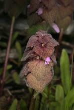 Photo: Lamium purpureum (Linnaeus, 1753) - Purple Dead-nettle aka Red Dead-nettle aka Red Henbit, DHG Native to Europe and Asia