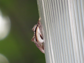 Photo: 16 Jul 13 Priorslee Flash: Not a very photogenic angle I am afraid: a Lesser Swallow Prominent moth up a lamp at The Flash. (Ed Wilson)