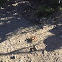 Arizona Blonde Tarantula
