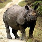 One - Horned Rhinoceros