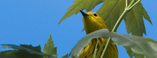 American Yellow Warbler (Setophaga petechia), , Park de la Frayere, Boucherville, 2017/05/27