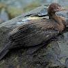 Biguá (Neotropic cormorant)