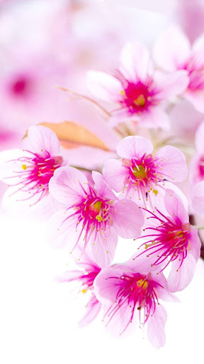 Rose Wallpaper, Floral, Flower Background: Rosely  screenshots 14