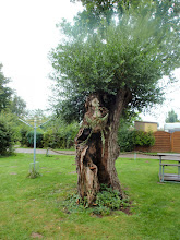 Photo: ...wie ich, uralter Baum, lebt aber noch