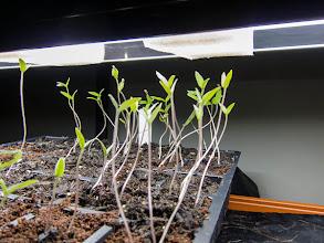 Photo: Tomato Seedlings