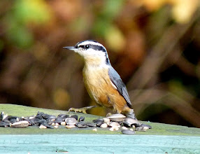 Photo: Red-breasted Nuthatch