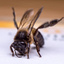 Eastern Honey Bee