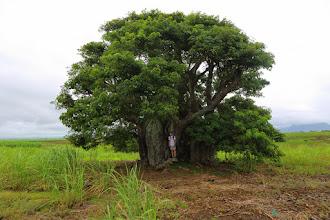 Photo: Baobab tree - Mauritius